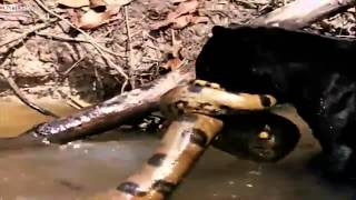 Male Jaguar and Black Panther Versus Green Anaconda Better version in HD