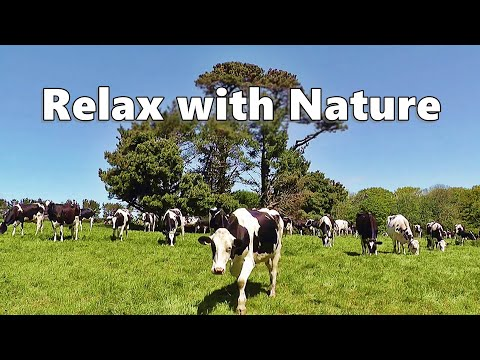 Relaxing TV for Dogs : Dog TV Spectacular - Cows In The Field on A Perfect Day