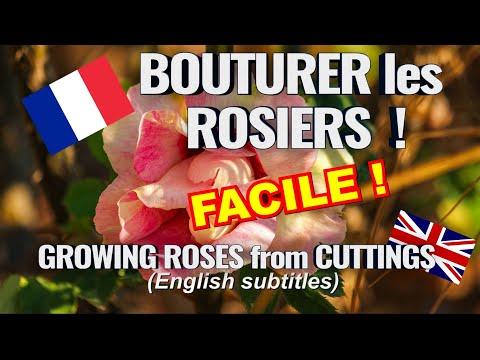 Comment bouturer les rosiers ?