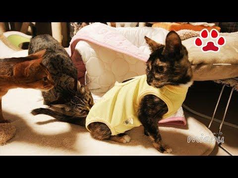 避妊手術前日、術後服を着る 仔猫らな【瀬戸のらな日記】The day before the Spaying Cute kitten Lana