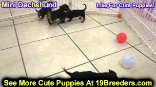 Miniature Dachshund, Puppies, For, Sale, In, Philadelphia, Pennsylvania, Pa, Borough, State, Erie, Y