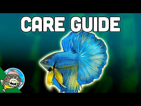 Betta Fish Care Guide - Betta Fish Tanks - Aquarium Co-Op