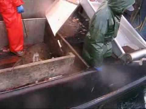 Don K Whitefish >> Alaskan Halibut Wrestling 2006 -- Fishing Vessel Viking Maid - YouTube