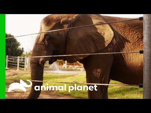 Elderly Elephant Gets Acupuncture Treatment For Arthritis | The Zoo: San Diego