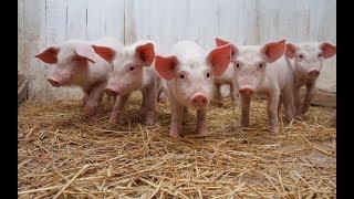 Свиноводство бьёт рекорды
