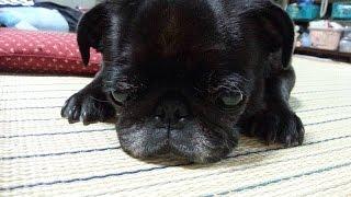 パグ、子犬の写真集です。超子顔な子でとてもやんちゃな黒パグです。 ht...