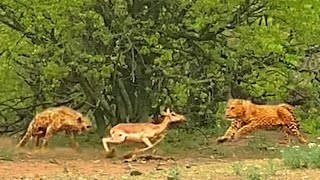 Leopard & Hyena Fight Over Impala While it Tries to Run Away