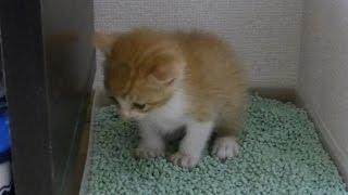 猫砂でのトイレのしつけに成功しました。 Roux became able to take a p...