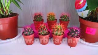 Кактусы с цветными иголками живут в Доброполье