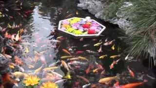 Visit to a Buddhist Temple & Koi Fish Pond in China