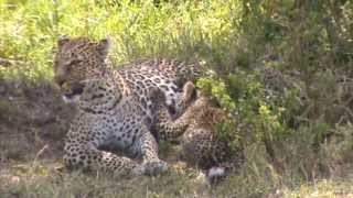 Amazing bond with a Leopard mother and her cub! (Olive and Bahati in Maasai Mara)