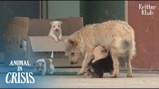 Stray Mother Dog cruzando el camino de la muerte para amamantar a sus cachorros | Animal in Crisis