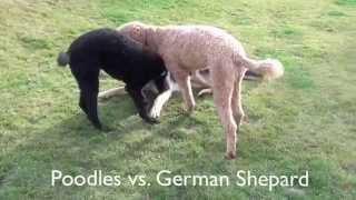 Standard Poodles Vs. German Shepard