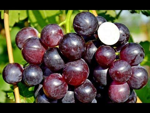 Виноград Кардинал - один из эталонных по вкусу сортов (Cardinal Grapes) Www.vinograd-kriulya.com