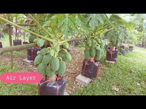 Papaya Air Layering Propagation