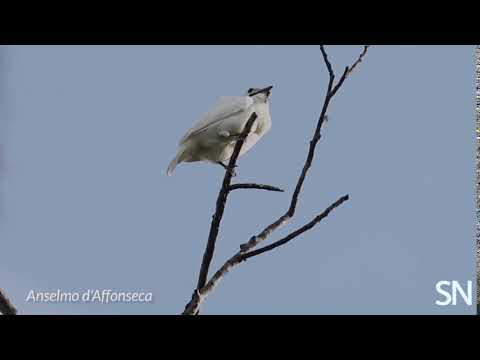 White bellbirds have the loudest known mating call of any bird