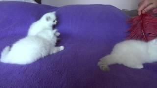 Котята  шиншилла поинт