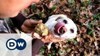 War over white truffles in Italy | DW Documentary