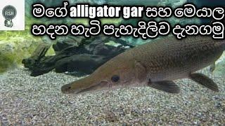 Alligator gar sinhala