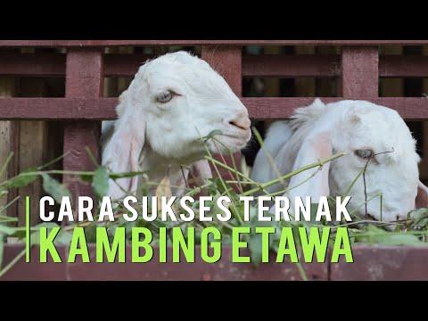 cara-sukses-ternak-kambing-etawa-untung-berlipat-ganda