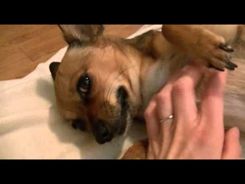 Chihuahua Weeks Pregnant