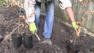 How to plant a pot grown hedge | Advice from Best4hedging