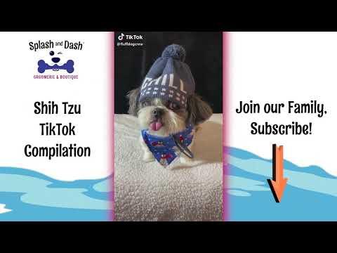 CUTEST Shih Tzu TikTok Compilation 2020