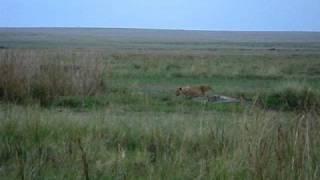 ガヴァナーズのエアストリップ付近にいたライオンの子供.