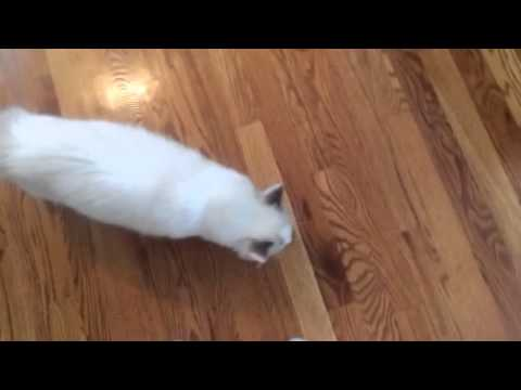 Rag doll cat playing fetch