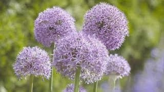 Gardening with Alliums