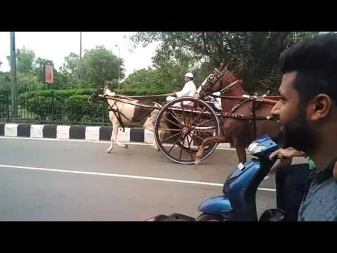 Delhi Tanga horse race
