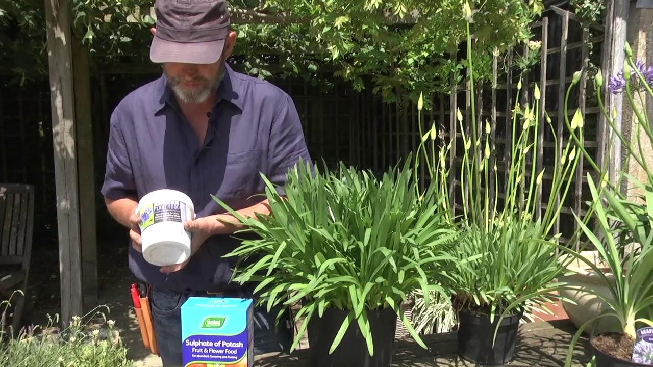 How Do I Make My Agapanthus Flower Youtube