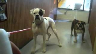 Boxer, Puppies, For, Sale, In, Sacramento, California, CA, El Monte, Berkeley, Vallejo, Santa Clara,
