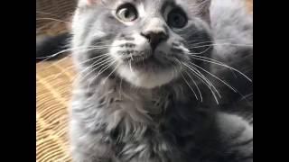 Голубая мраморная кошка