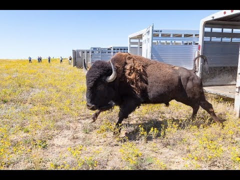 55 bison transferred from Yellowstone to Fort Peck Tribes following brucellosis quarantine