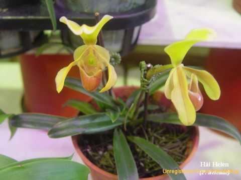 lan hài việt nam - slipper orchids