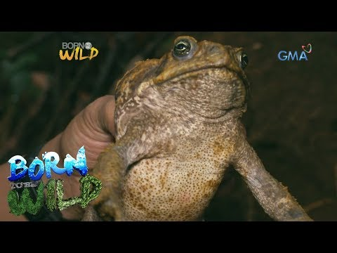 Born to Be Wild: Dangerous cane toad found in Mt. Kanlaon