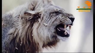 Wild Fauna / Львиная страна прайдов / Lion Country: Night an Day Часть 1
