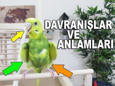 Muhabbet Kuşu Davranışları Ve Anlamları
