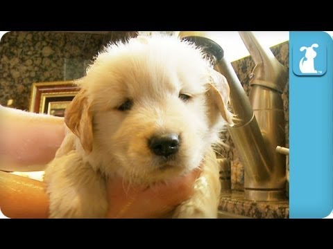 Golden Retriever Puppy Taking A Bath Youtube