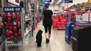 "7 Month Old Tibetan Spaniel ""Buddy""   Port Saint Lucie Dog Trainer   Central Florida Dog Trainers"