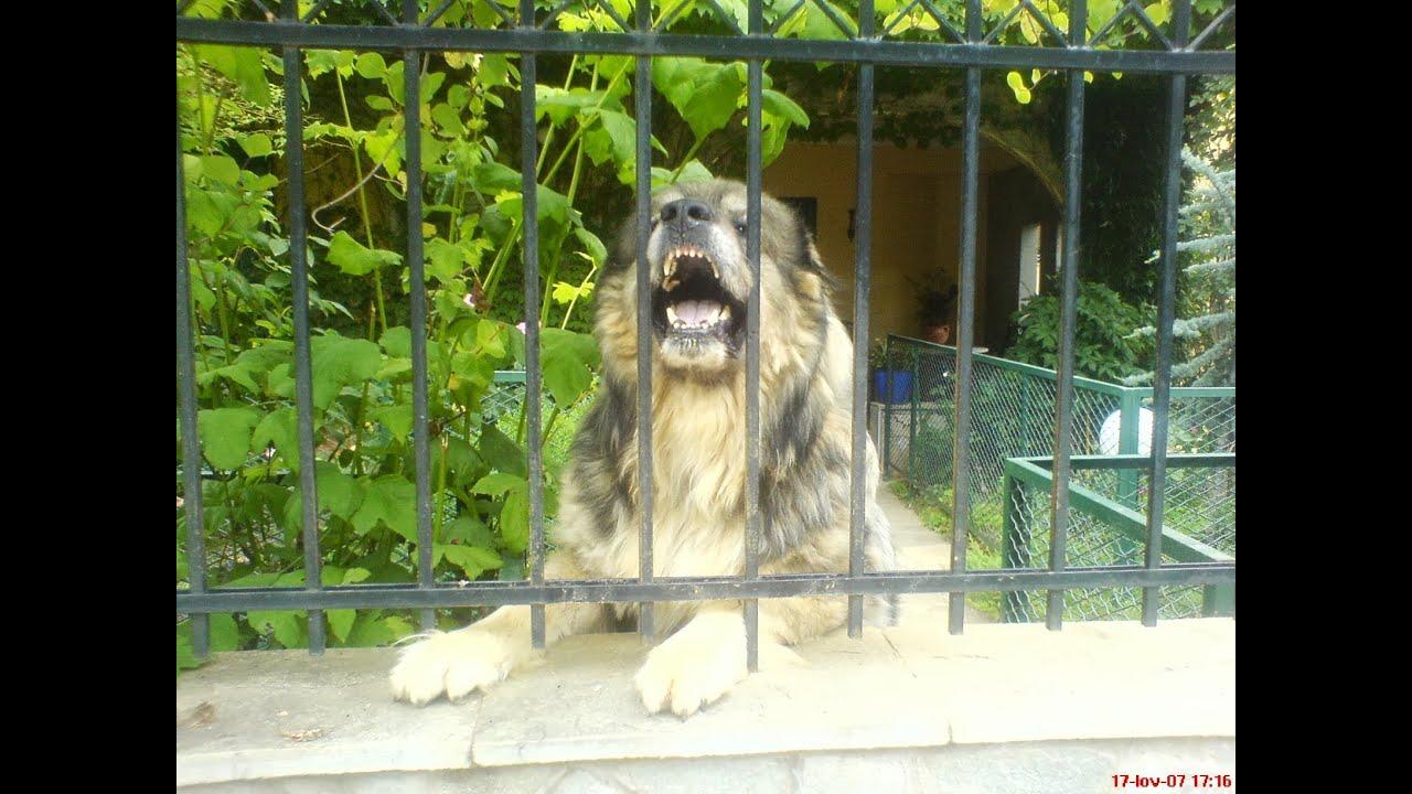 The Superdog 2 (Killer Caucasian Shepherd Dog Attacking ...