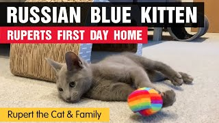Russian Blue Kitten  Ruperts First Day Home