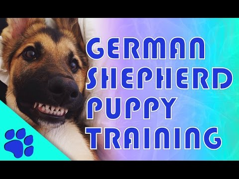 german-shepherd-training:-how-to-train-a-german-shepherd-puppy-in-10-steps.