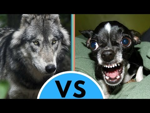 Dog vs Wolf Differences