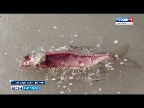 Причину гибели рыбы в смоленской реке устанавливают специалисты