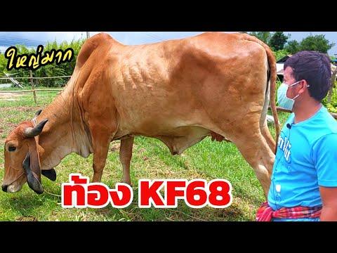 วัวราคาพอฟัง จากคอกชาวบ้าน เฟรมใหญ่ๆท้อง KF68 ประกันท้อง เปิดกลางทุ่งนา เริ่มต้น 20,000 มีของแถมให้
