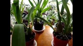 Орхидея Камбрия. Уход. Подпишись на орхидеи Ванда, Мильтония, Дендробиум, Цимбидиум, Пафиопедилум.(Орхидеи Камбрия. Как ухаживать. Размножение, деление, цветение, пересадка, посадка, полив, уход, влажность,..., 2015-05-29T21:47:47.000Z)