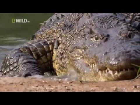 Документальные фильмы 2017 дикая природа  Африка Крокодил убийца В мире животных Nat Geo Wild animal
