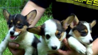 Akc Pembroke Welsh Corgi Pups Contact Brenda In Florida
